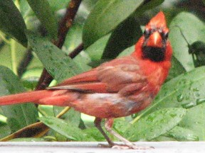 A male cardinal  on our deck.  August 28, 2008.
