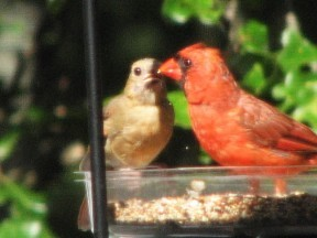A male cardinal feeding a juvenile, Fairfield Glade, Tennessee.  September 4, 2008.
