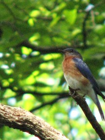 A male bluebird in our backyard.  July, 2008.