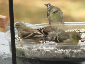 Young Goldfinch in one of our feeders.  October 28, 2008.