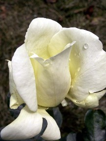 Sweet Freedom Rose, 2008.