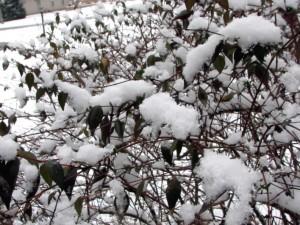 Snow on our jasmine bush.  January 19, 2009.