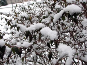 Snow on our jasmine bush.  January 19, 2009.
