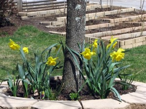 Daffodils in bloom under our dogwood tree.  March 18, 2009.