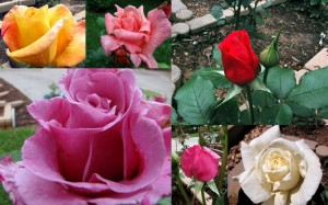 RoseCollage090518