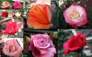 RoseCollage090522