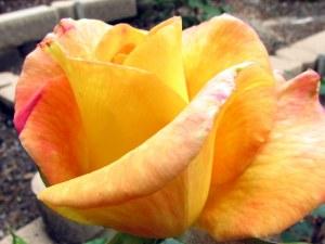 Rio Samba Rose, Fairfield Glade.  May 11, 2009.