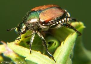 japanese_beetle_001
