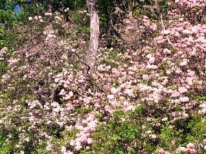 Mountain Laurel near Otto, North Carolina.  May 29, 2009.