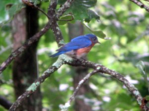 Daddy Bluebird keeping watch.  July 26, 2009.