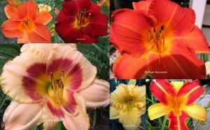 Daylilies0902
