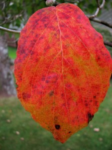 Dogwood leaf, Fairfield Glade, Tennessee.  August 30, 2009.