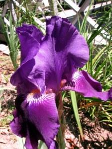 Autumn Bugler Iris, Fairfield Glade, Tennessee.  August 31, 2009.