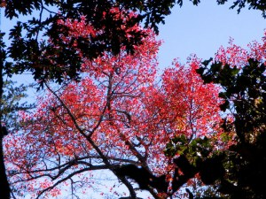 Red leaves and blue skies.  Fairfield Glade, Tennessee.  October 19, 2009.