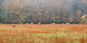 Elk grazing in a field in Cataloochee Valley.  October 20, 2010.