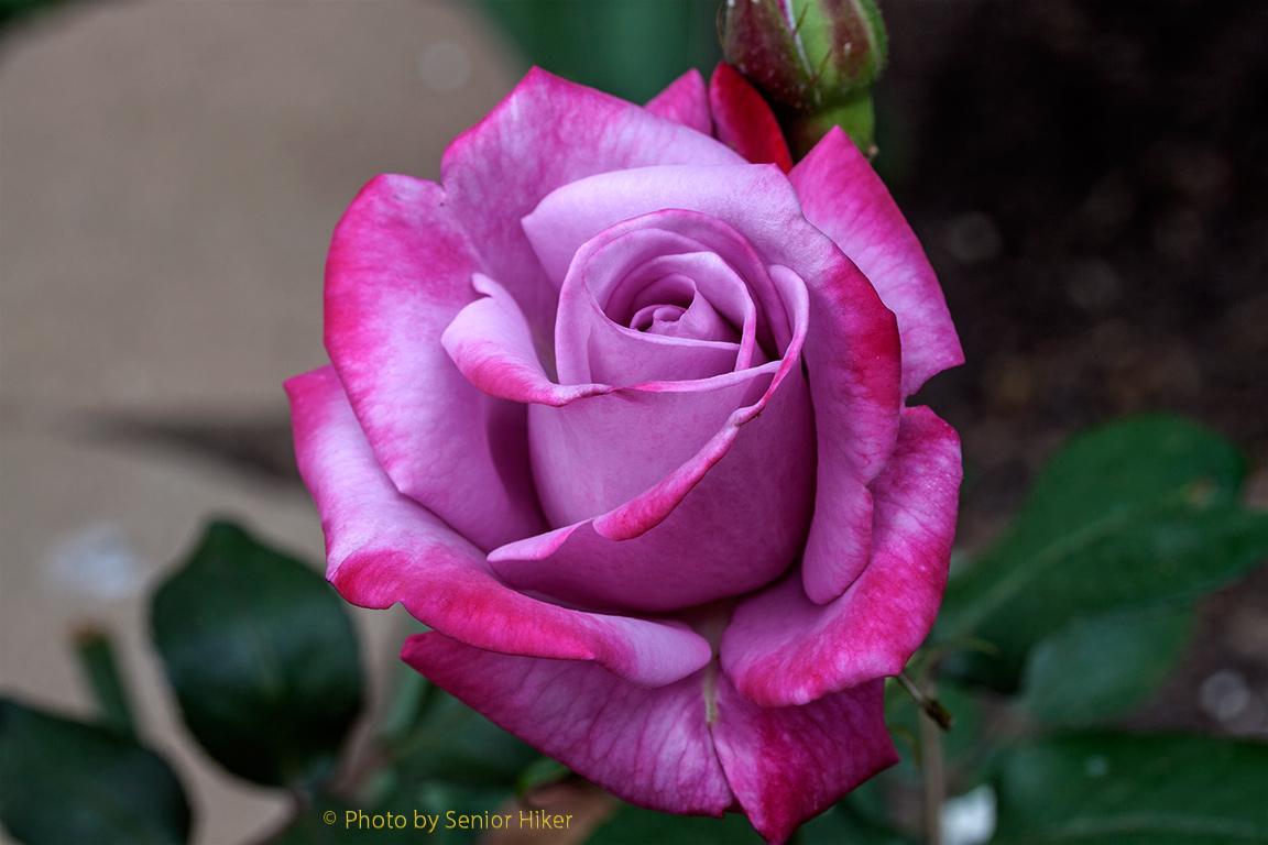 I Promised Her a Rose Garden | Senior Moments