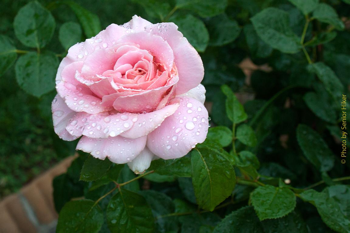 rose frederic mistral flowerpedia intoxicating fragranced. Black Bedroom Furniture Sets. Home Design Ideas