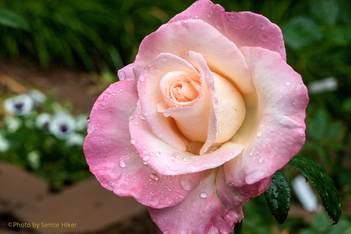 Rose: Senior Moments