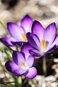 These crocus were a gift from my Dad when we bought our house.  Fairfield Glade, Tennessee.  February 24, 2013.