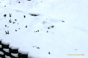 Spring flowers that have come up poking through the blanket of snow.  February 2, 2013.