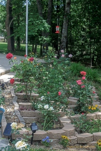Our 'small' rose bed, Fairfield Glade, Tennessee.  June 1, 2013.