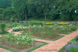 Part of the rose garden at Biltmore House & Gardens, Asheville, North Carolina.  August 6, 2013.