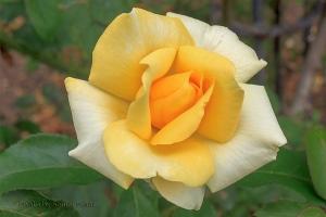 Winter Sun rose, Biltmore House & Gardens, Asheville, North Carolina.  August 6, 2013.