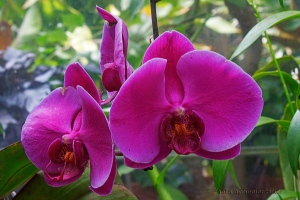 Orchid in the Conservatory of the Biltmore Estate, Asheville, North Caroliina.  June 14, 2014.
