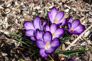 Purple crocus 'volunteers' in front of our house.  March 15, 2014.