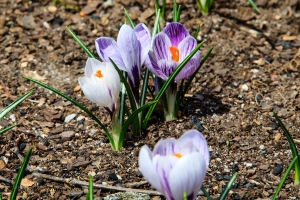 Crocus in bloom.  Fairfield Glade, Tennessee.  March 15, 2014.