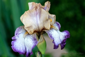Floor Show iris, Fairfield Glade, Tennessee.  May 7, 2014.