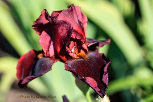 Hell's Fire iris, Fairfield Glade, Tennessee.  May 7, 2014.
