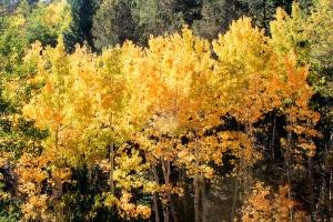 Aspen at Crystal Creek Reservoir, Pikes Peak, Colorado.  September 14, 2012.