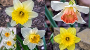 2015 -- FFG Spring Flowers (March Daffodils)