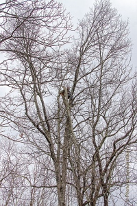 Can you see him up in the tree?  Getting damaged trees trimmed.  Fairfield Glade, Tennessee.  March 2, 2015